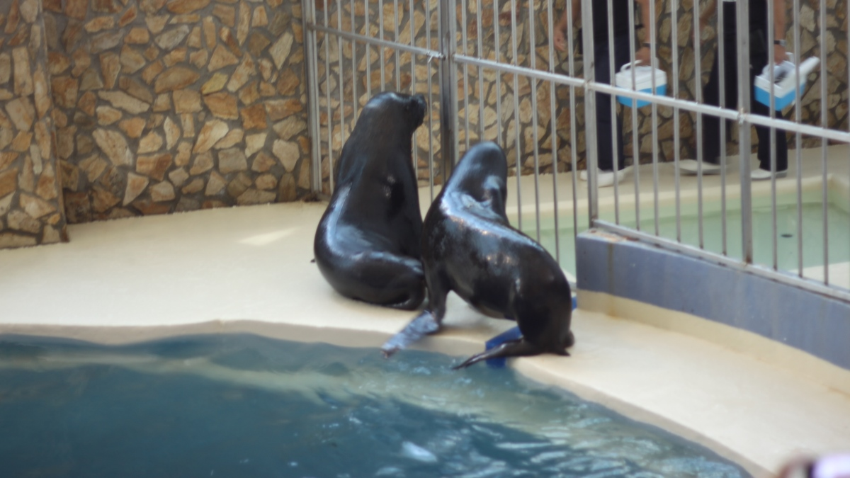 FOTO VIDEO Noi atracții la Delfinariul din Constanța. Doi lei de mare patagonezi vor putea fi urmăriți de la sfârșitul acestei săptămâni
